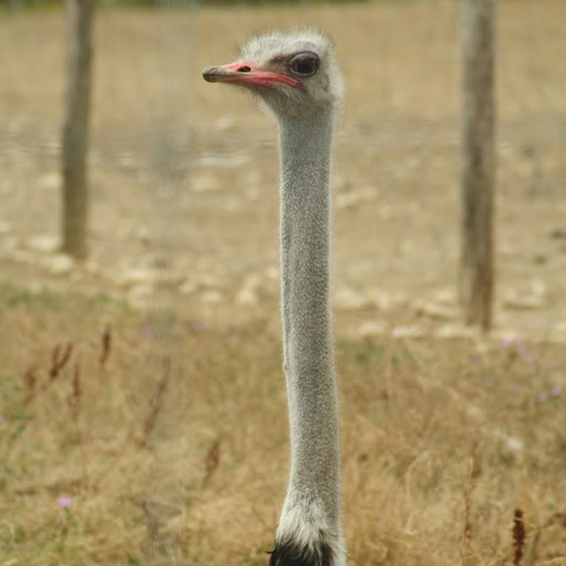 Ostrich_19.jpg