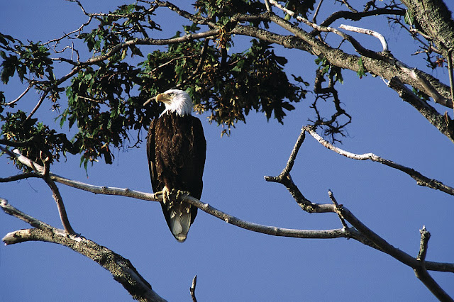 The Pacific Northwest is one of the favorite habitats of the bald eagle. / Credit: Keith Lazell