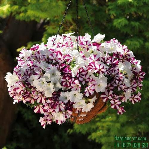 Chậu hoa dạ yến thảo sọc