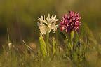 JOLI COUPLE Orchis sureaux dans une pâture des Hautes-Combes