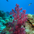 "Beautiful soft corals at ""Small Crack"""