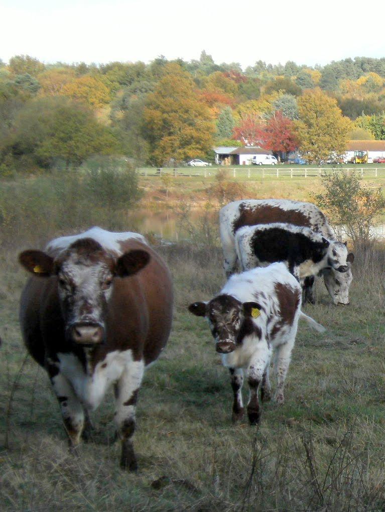 DSCF2222 Cattle at Colebrook Lake North