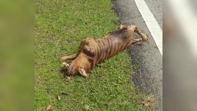 Anjing disangka harimau