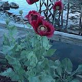 Dock Flower