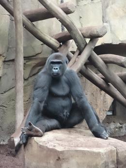 2017.08.26-044 gorille