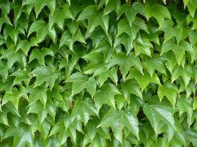 Winobluszcz trójklapowy liście