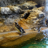 pengiuns at the Shinagawa Aquarium in Shinagawa, Tokyo, Japan