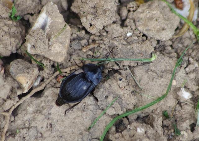 Tenebrionidae. Les Hautes-Lisières (Rouvres, 28), 17 avril 2015. Photo : J.-M. Gayman