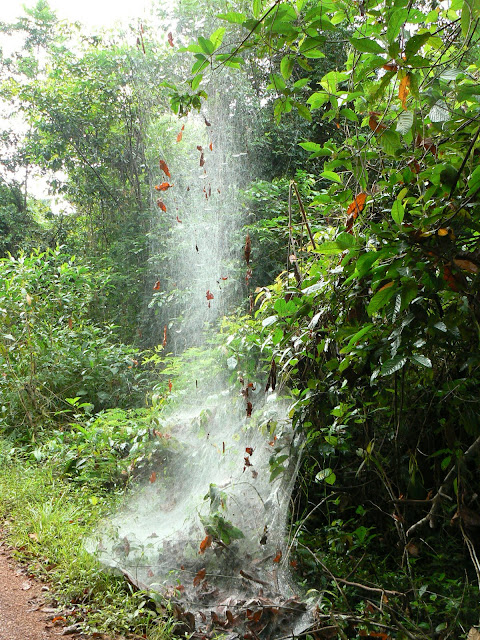 Toile d'araignées sociales. Près de Cacao (Guyane), 28 novembre 2011. Photo : C. Renoton