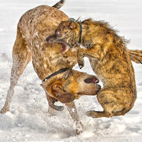 Gaming by Dietmar Pohlmann - Animals - Dogs Playing ( challenge, dogs, moving, animals in motion, pwc76, dog, motion, animal )