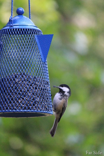 Chickadee on new feeder