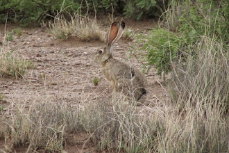 Photo: Jackrabbit!
