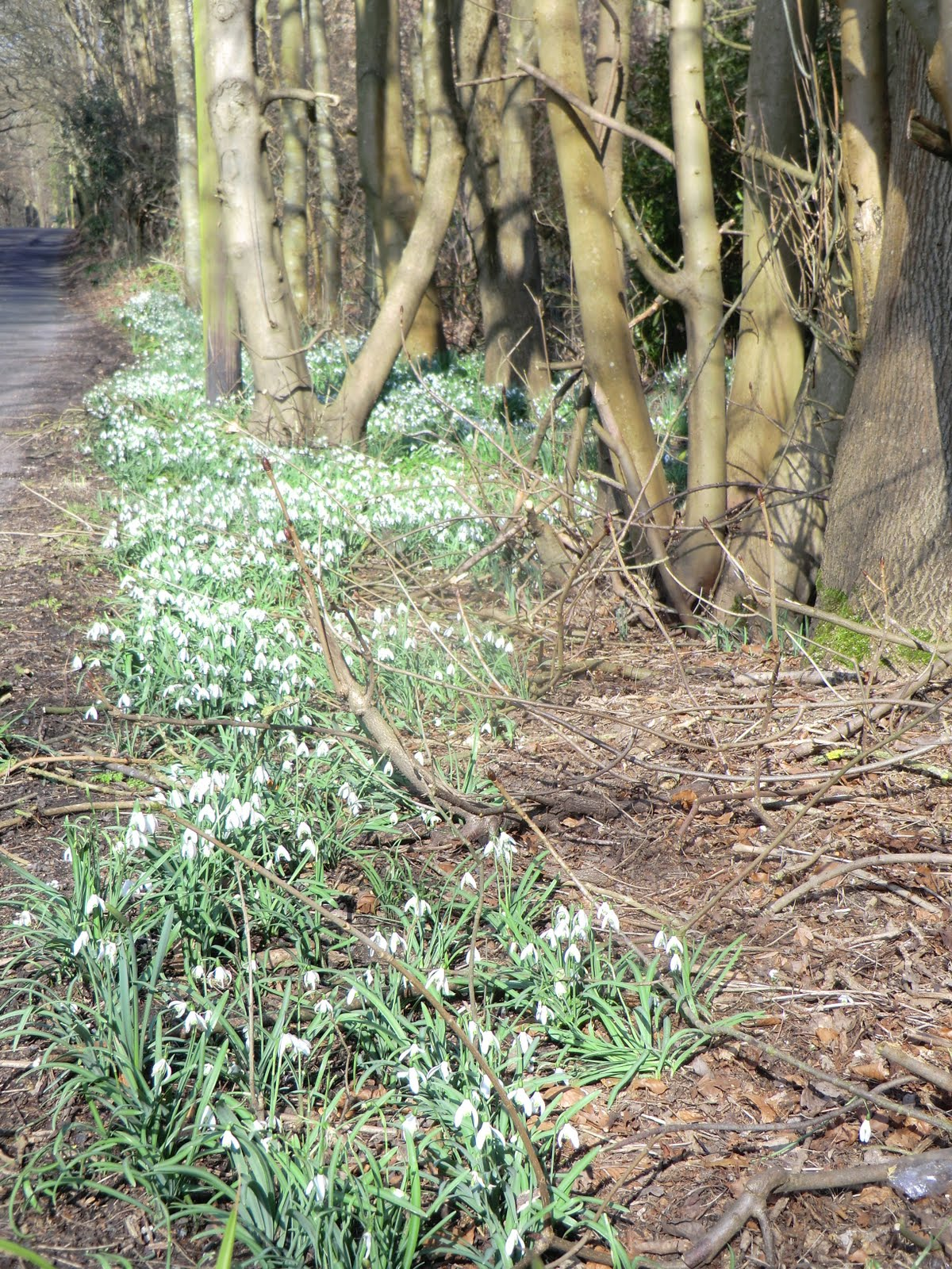 CIMG2885 Roadside snowdrops, Goodley Stock Road