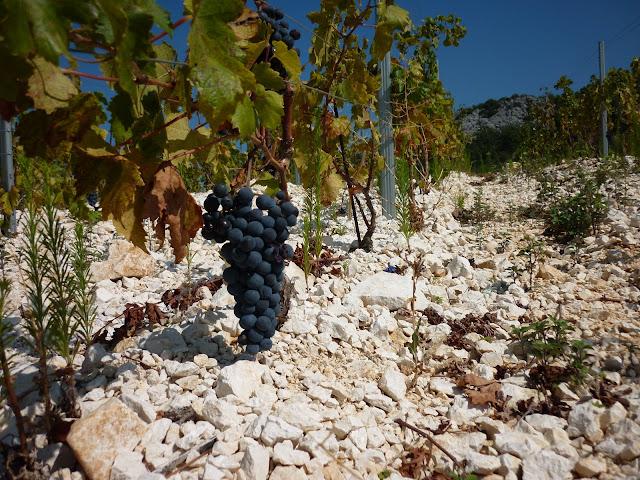 Plavac Mali vineyards, Peljesac peninsula, Dalmatia, Croatia