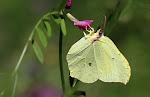 Citronsommerfugl.jpg