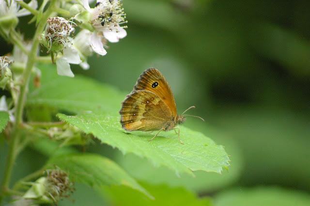 Pyronia tithonus LINNAEUS, 1771, femelle. Les Hautes-Lisières (28260). Photo : J.-M. Gayman. 27 juin 2008