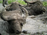 Cape Buffalo - Thornybush Reserve, Kruger NP