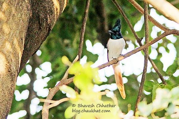 Adult Asian Paradise Flycatcher [Female]