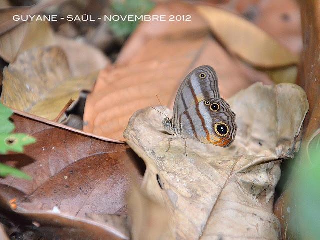 Caeruleuptychia brixius (GODART, [1824]). Saül, novembre 2012. Photo : M. Belloin