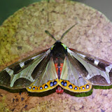 Arctiidae : Pericopinae : Dysschema mariamne (GEYER, 1835). Mount Totumas, 1900 m (Chiriquí, Panamá), 26 octobre 2014. Photo : J.-M. Gayman
