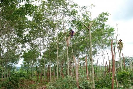 Nông dân ở Gia Lai chặt bỏ vườn cao su chuẩn bị khai thác. Ảnh: Văn Vĩnh