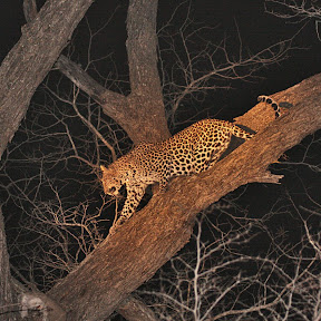 Leopard Female at Night, South Africa