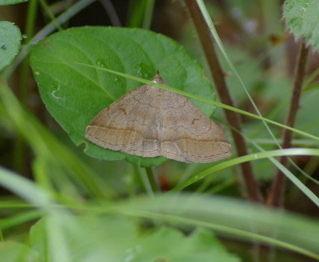 Noctuidae : Herminiinae : Zanclognatha lunalis (SCOPOLI, 1763). Les Hautes-Lisières (Rouvres, 28), 20 juin 2011. Photo : J.-M. Gayman