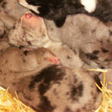 Thelma's litter @ 1 week
