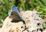 Hvidrandet blåfugl, dorylas, han6.jpg