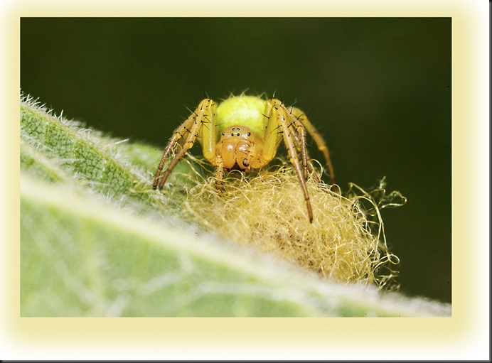 orb weaver with eggs.