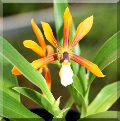 Растения из Тюмени. Краткий обзор - Страница 3 Epidendrum%252520vitellinum%252520x%252520%252528tripunktatum%252520x%252520semialperta%252529