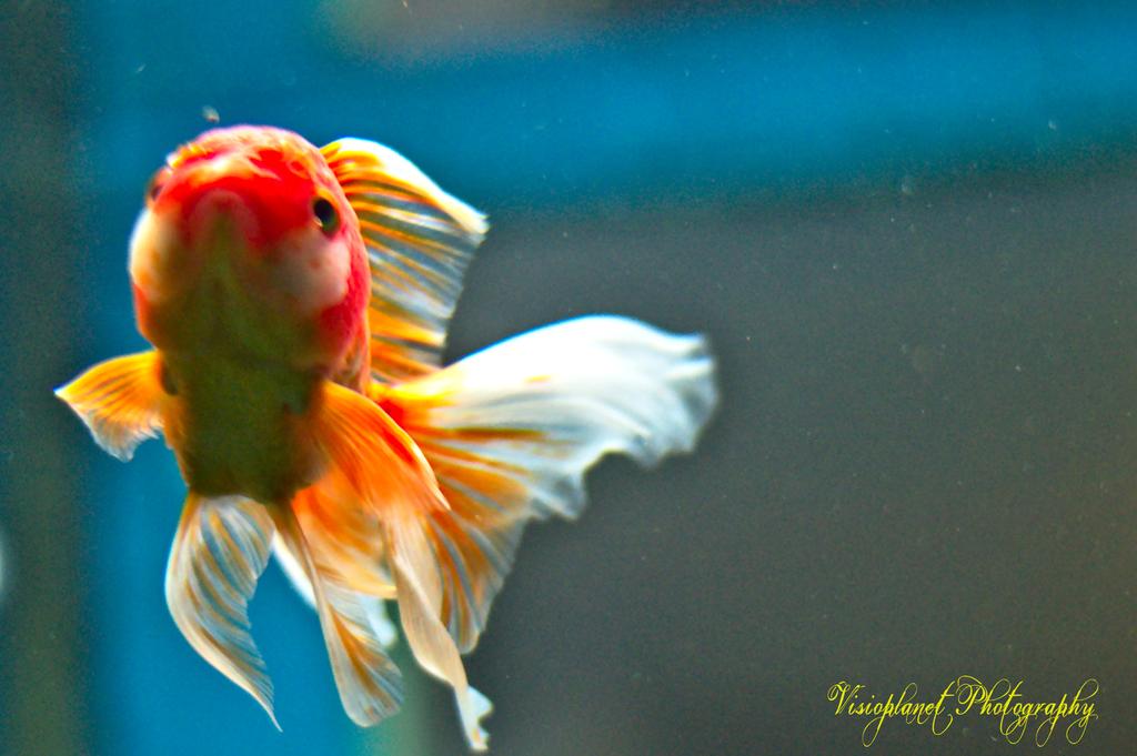 Goldie! by Sudipto Sarkar on Visioplanet