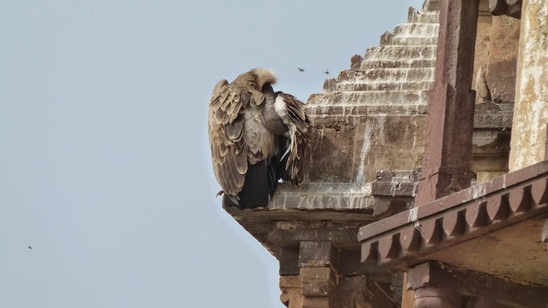 Aguila en en el Templo de Laxmi, Orchha, India.