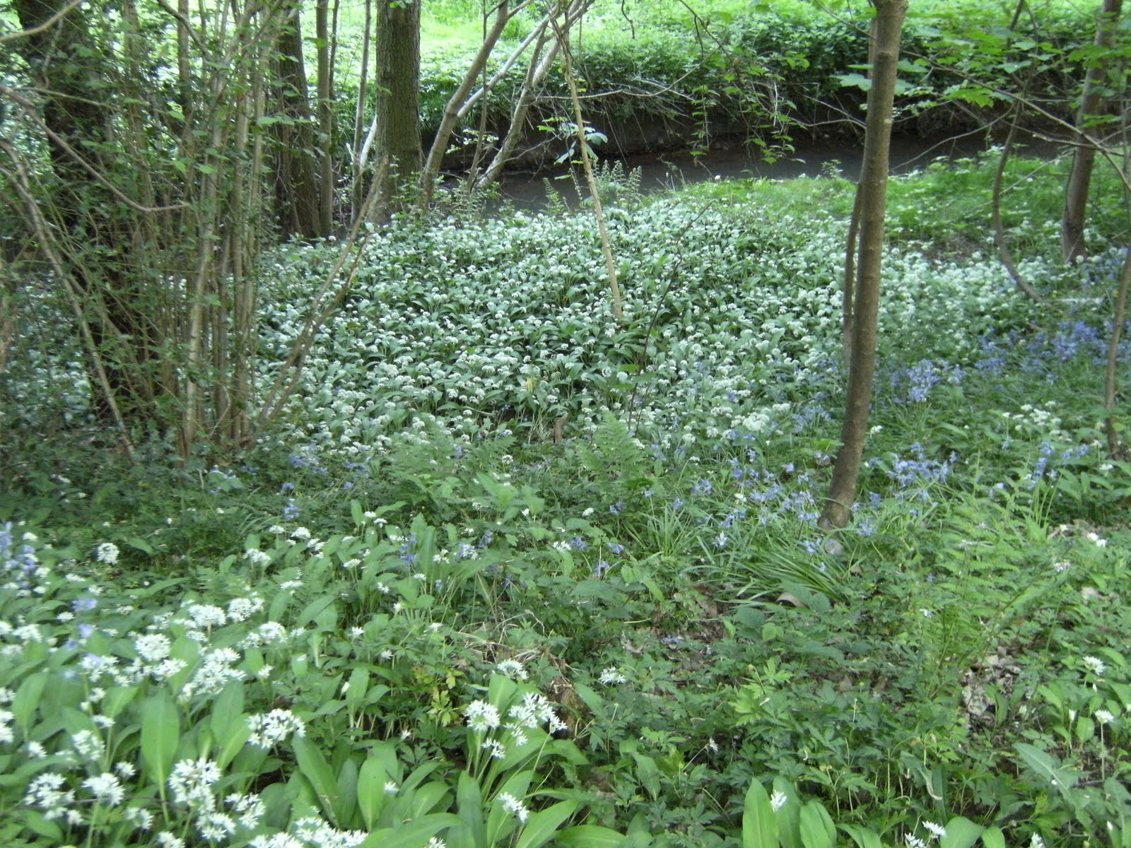 DSCF7507 Ramsons in wood near High Rocks