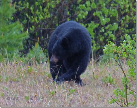 Black Bear, Alaska Highway