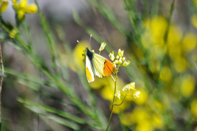 Anthocharis belia euphenoides (STAUDINGER, 1869), mâle. Plateau de Coupon (511 m), Viens (Vaucluse), 14 mai 2014. Photo : J.-M. Gayman
