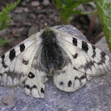 Parnassius staudingeri illustris GRUM-GRSHIMAILO, 1888. Anzob Pass, 3300 m, 3 août 2007. Photo : Jean Michel