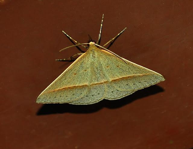 Geometridae : Oenochrominae : Epidesmia tryxaria GUÉNÉE, 1857. Umina Beach (New South Wales, Australie), 21 mars 2011. Photo : Barbara Kedzierski