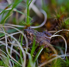 Photo: American Toad