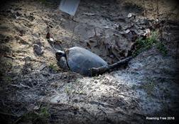 One of many gopher tortoises