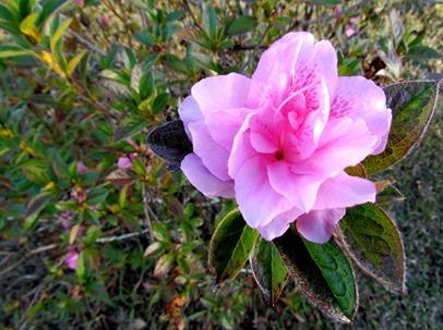 1612041 Dec 16 Azaleas In Bloom