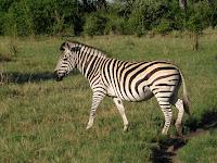 Zebra - Linyanti Concession (Chobe Region)