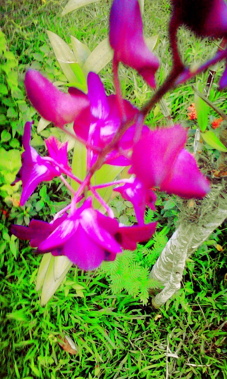 Gambar Bunga Anggrek Warna Ungu