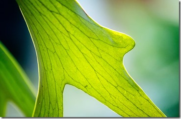 Detail of stag horn fern leaf I
