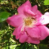 Gardening 2015 - 116_7638.JPG