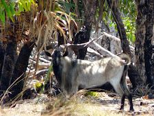 wildlife-wild-goat.jpg