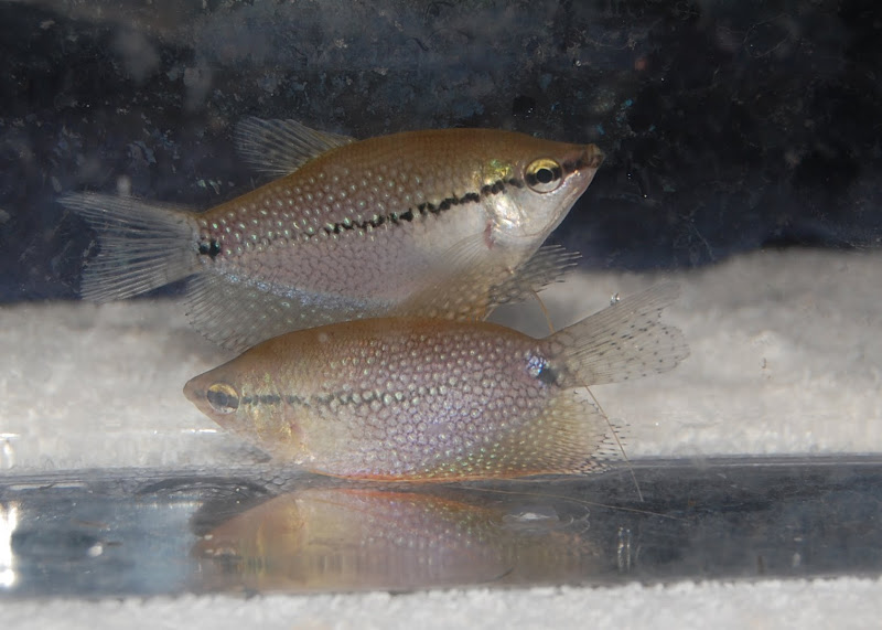 For sale fish and invertebrates stock list updated 9 1 11 for Community fish list