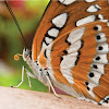 Tangerine Butterfly Photos