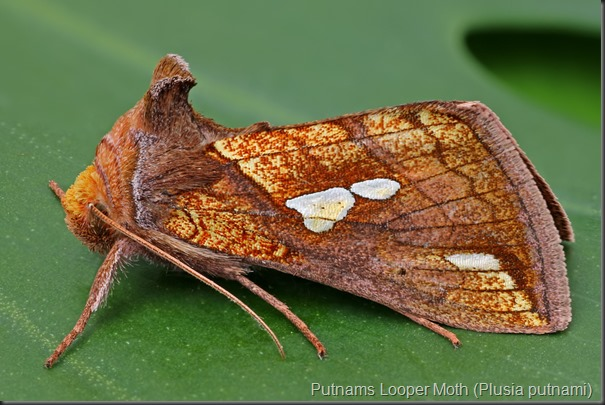 Putnams Looper Moth (Plusia putnami)