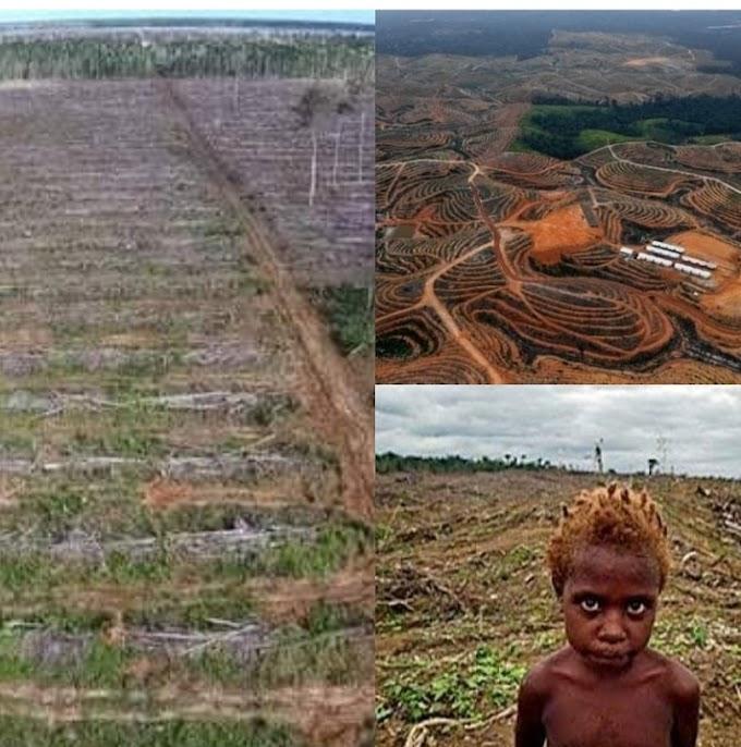 Hutan Adat,  Kebun Kelapa Sawit Dan Masa Depan Masyarakat Pribumi Di Kabupaten Merauke Papua
